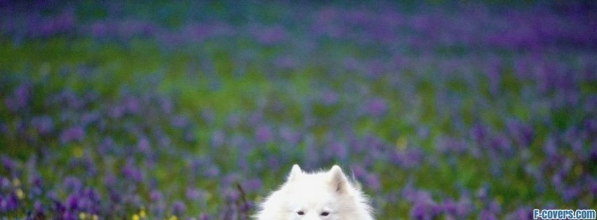 american eskimo dog facebook cover