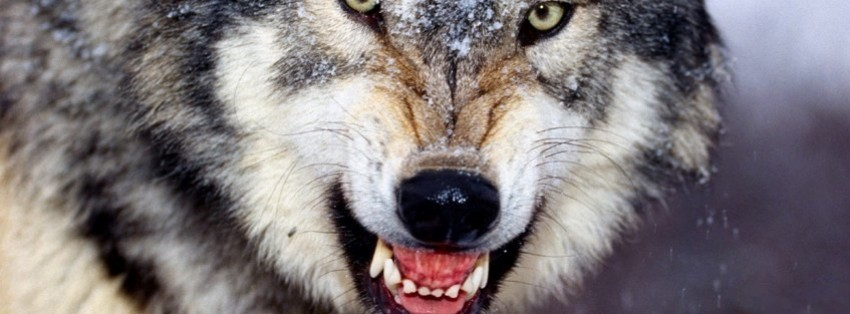angry wolf facebook cover