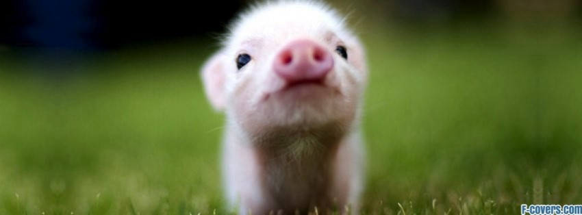 baby pig facebook cover
