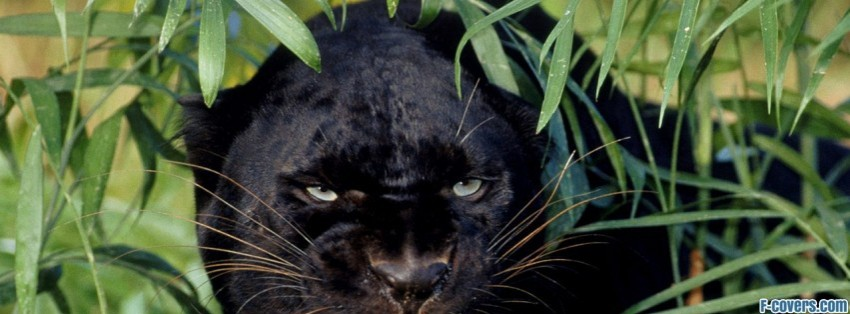 Angry Black Panther black panther a melanistic