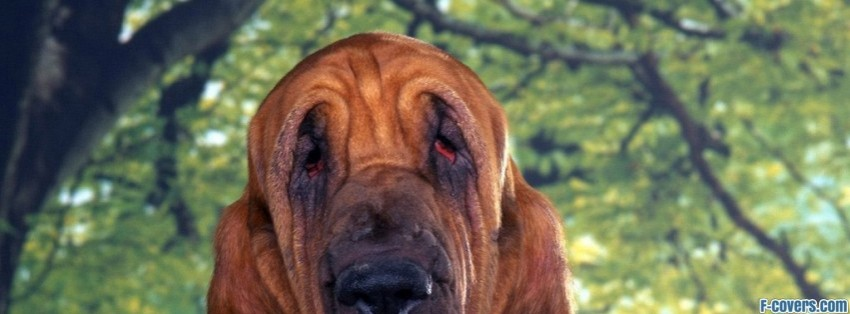 bloodhound chien de saint hubert facebook cover timeline