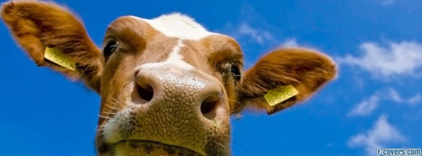 Cow 3 Facebook Cover Timeline Photo Banner For Fb