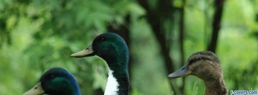 ducks facebook cover