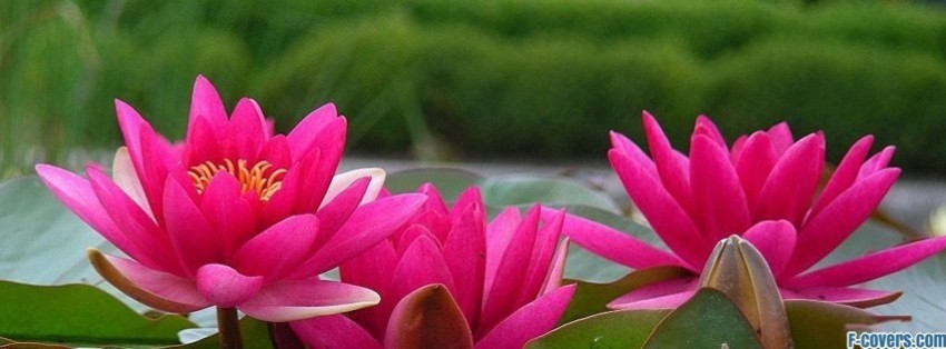 flowers lotus  facebook cover timeline photo banner for fb, Beautiful flower