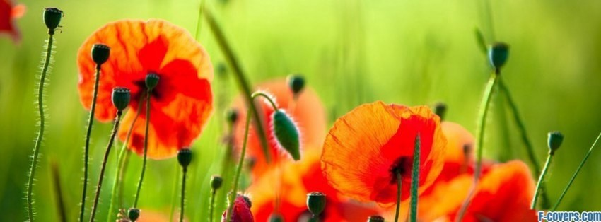 flowers poppy red 14 facebook cover