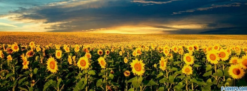 flowers sunflowers 5 facebook cover