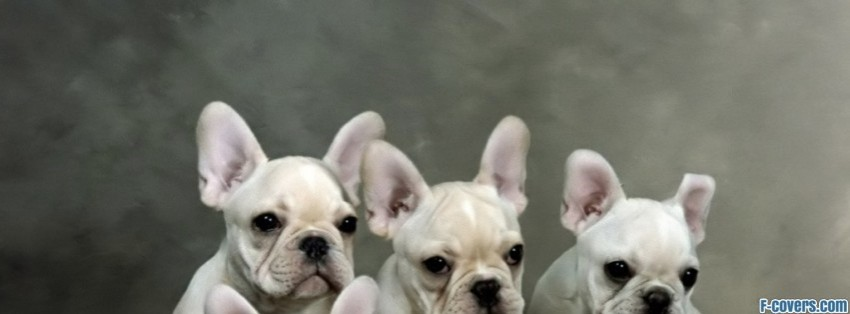 French Bulldog Puppies Facebook Cover Timeline Photo
