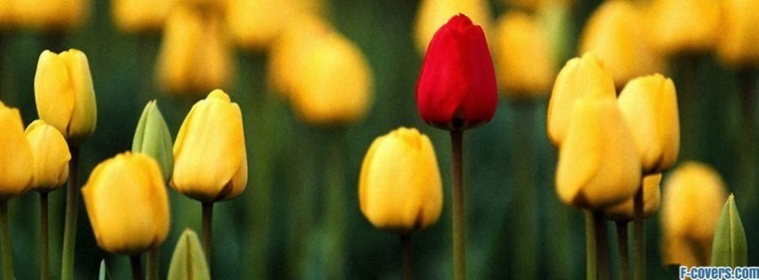red tulip single facebook cover