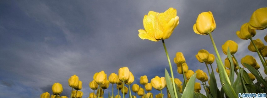 yellow tulips Facebook Cover timeline photo banner for fb