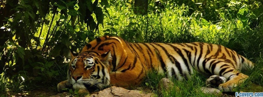 tiger laying down facebook cover