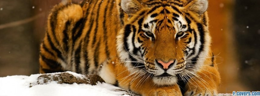 tiger snow facebook cover