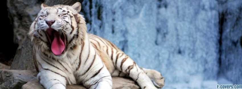 Yawning Snow Tiger Facebook Cover Timeline Photo Banner For Fb